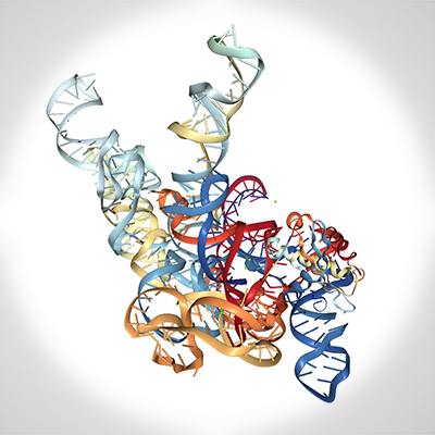 Crystal structure of bacterial RNase P ribonucleoprotein in complex with tRNA and in the presence of the 5'leader which is cleaved from the pre-tRNA substrate through the catalytic activity of this ribozyme. Nature 468, 784-789, 2010. Lab of Alfonso Mondragon.