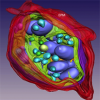 Rendered 3D model of a malaria-infected erythrocyte obtained by scanning transmission electron tomography.
