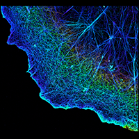 3D image of actin in a cell. It forms a dense network of thin filaments.