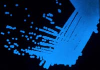 Bacterium glowing blue