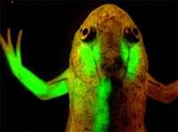 Glowing frog. Credit: Jonathan Slack, University of Minnesota.