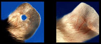 Left: Mouse ear with a hole, not completely closed when healed. Right: Mouse ear with a hole, completely grown back when healed. Credit: Ellen Heber-Katz, The Wistar Institute.