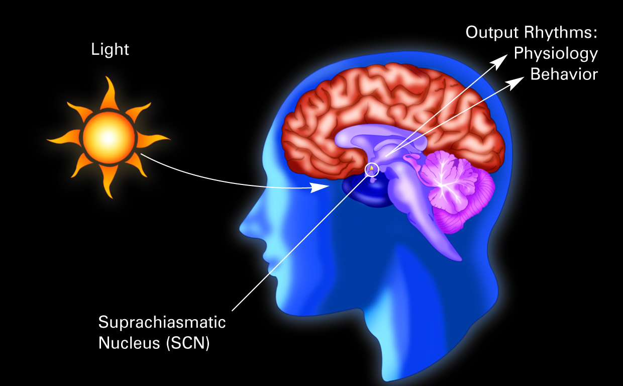 Illustration of a human brain with the suprachiasmatic nucleus labelled.