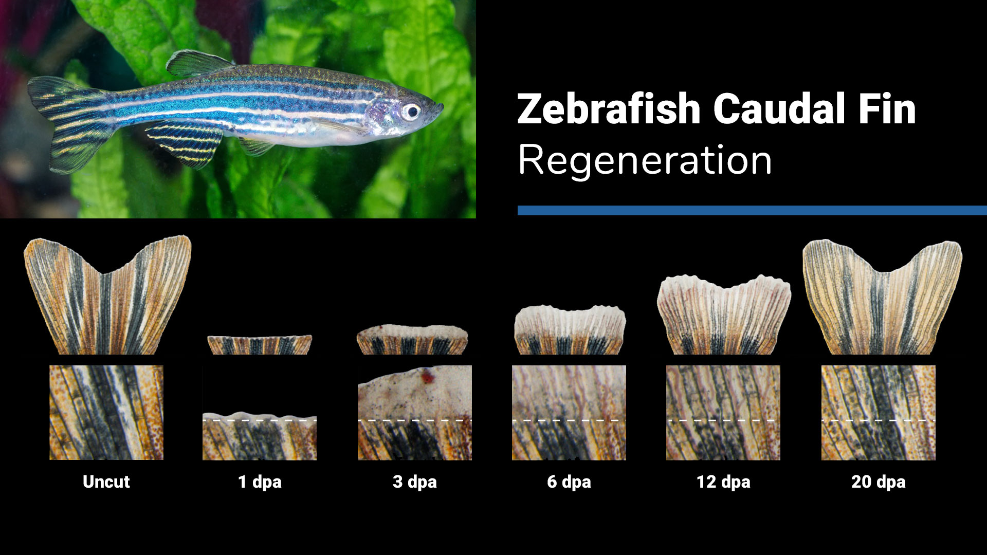 Zebrafish Caudal Fin Regeneration: A blue-and-white-striped zebrafish and images of a fin, shown in stages, which was lost and is regenerating or growing back.